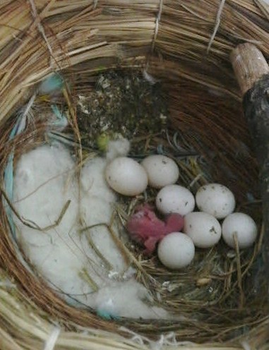 卵に混じって…!