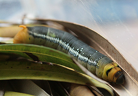 キョウチクトウスズメ