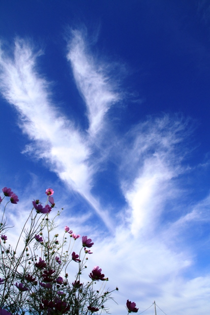 026コスモスと雲jpg