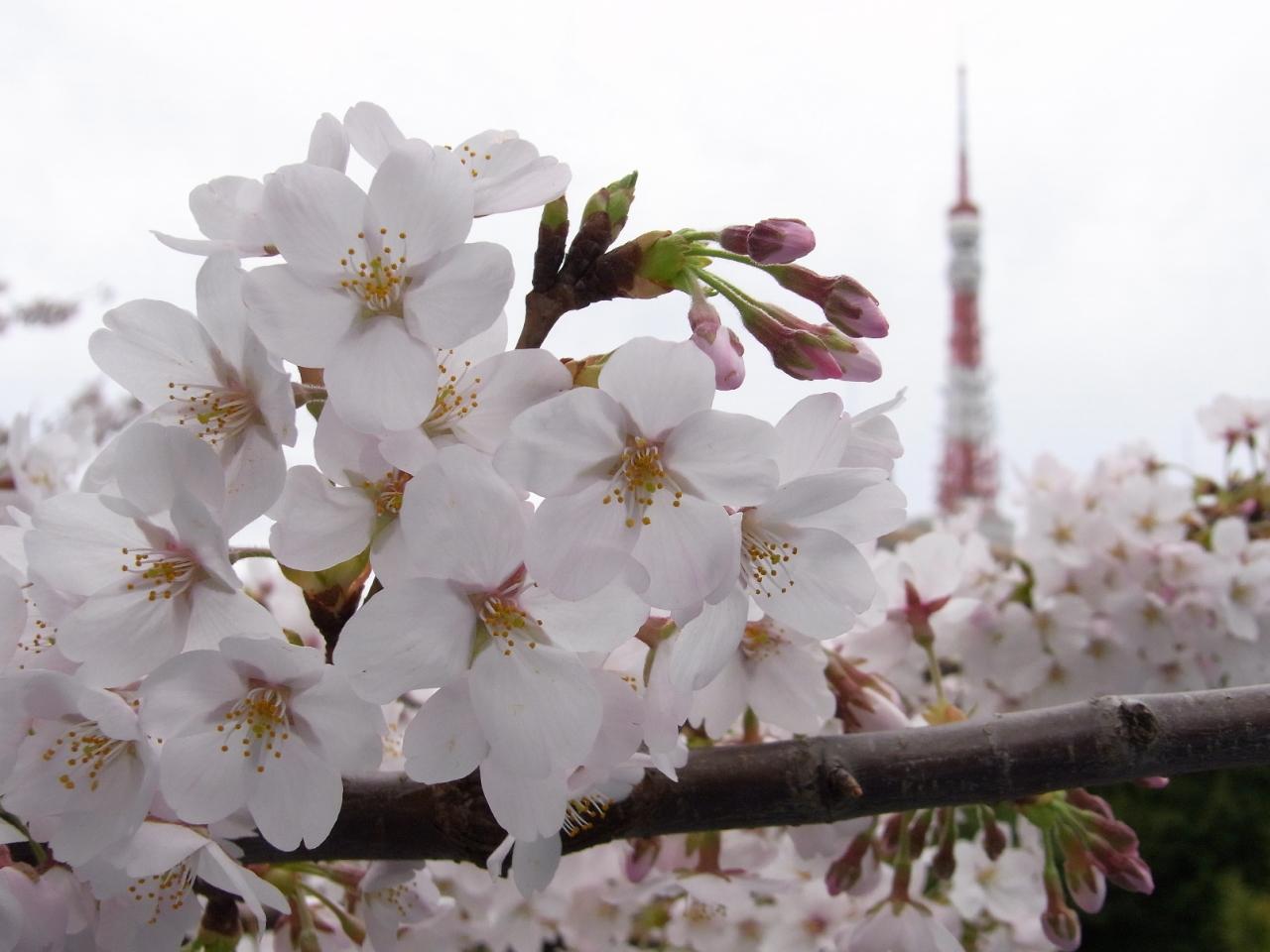 サクラと東京タワー