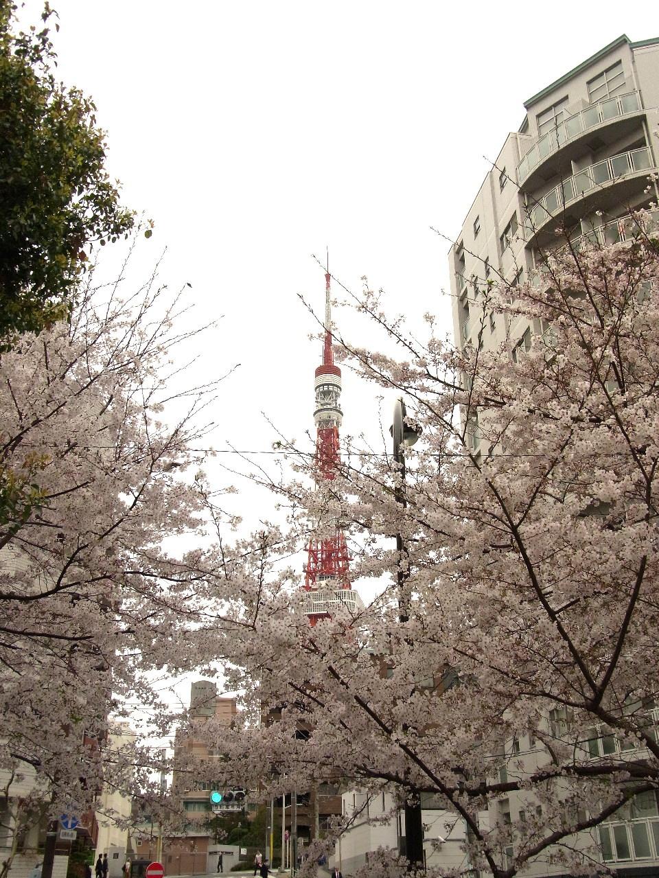 サクラの樹と東京タワー