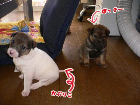 かぷりこ ぽっきー