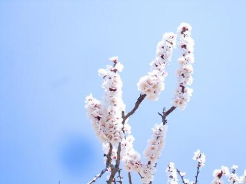 あんずのお花見4