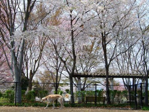桜のラン1