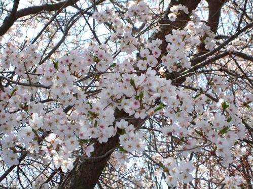 桜のラン2