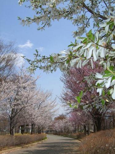 桜のラン3