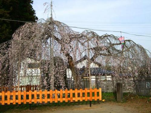 袖ノ山の枝垂桜1