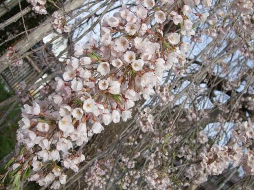 袖ノ山の枝垂桜2