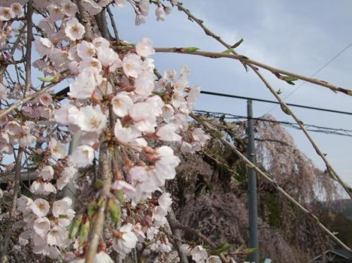 袖ノ山の枝垂桜3