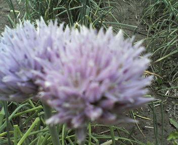 20110516分葱の花
