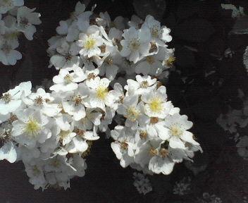 20110521野バラ