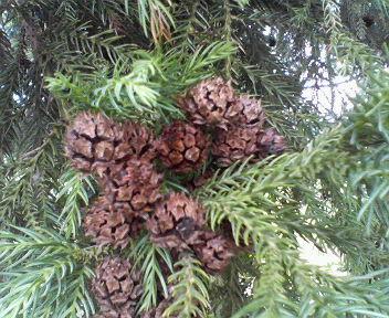 20110613杉の実