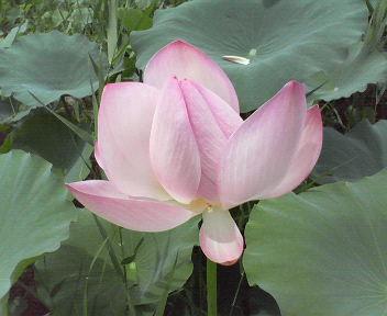 花20110727蓮ピンク