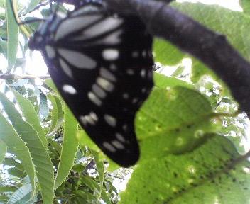 20110802蝶々1