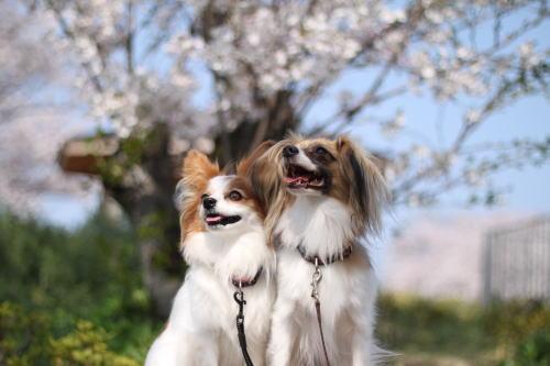 桜綺麗だね~♪