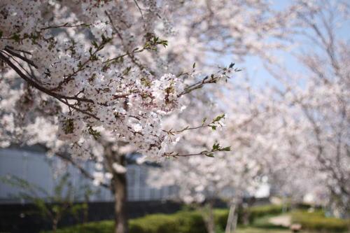 桜を見に‥