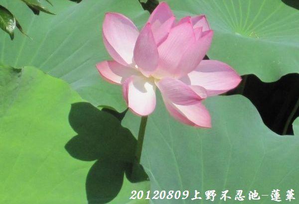 0809shinobazu15
