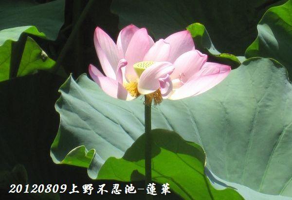 0809shinobazu19