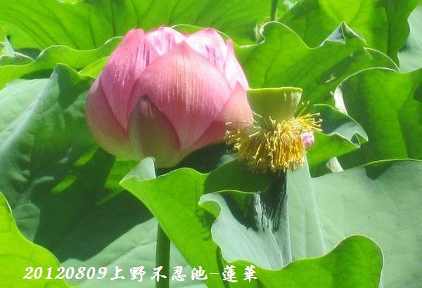 0809shinobazu23
