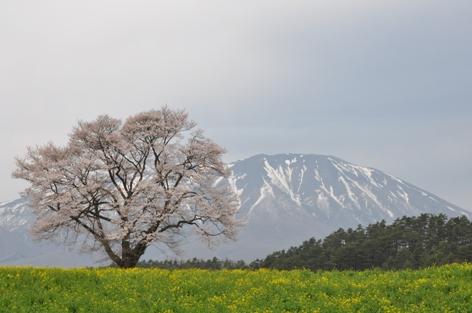 小岩井農場一本桜①
