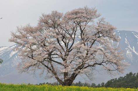 小岩井農場一本桜②