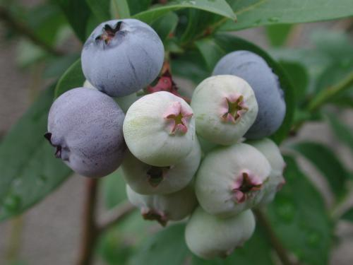 blue berry 2011