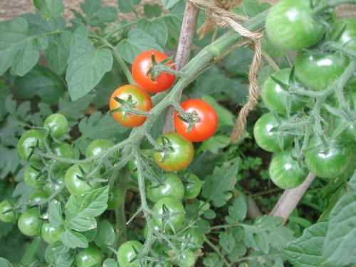 tomato2011