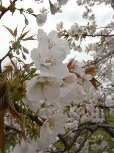なんて桜?