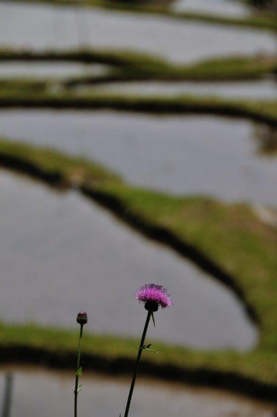 5 野アザミの咲くころ