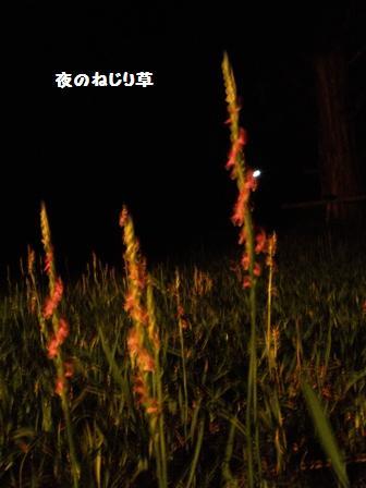 ねじり草1a