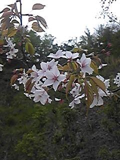 桜 4月21日