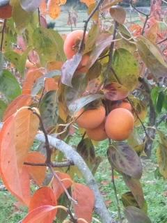 柿の葉も紅葉するんだ!