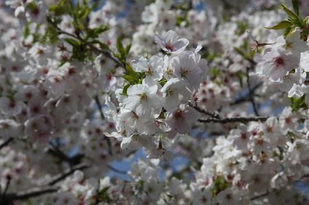 大島桜 満開