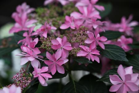 加茂花菖蒲園 多目的温室のアジサイ