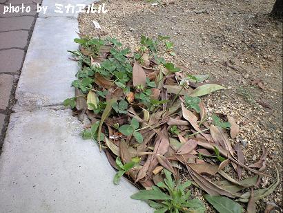 10.05道端の花シロツメクサCA391072