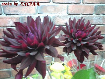 10.06ダリア黒蝶CA391101