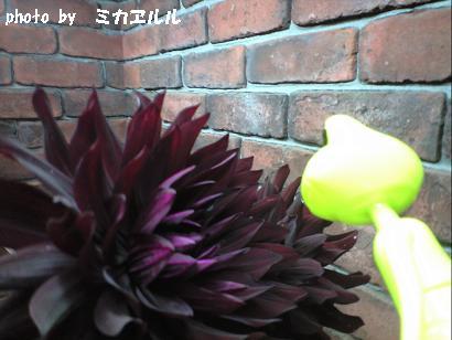 10.06ダリア黒蝶CA391099