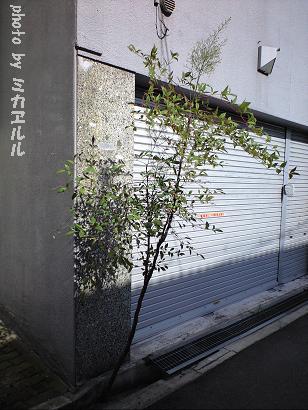10.07道端の花・なんてんCA391130