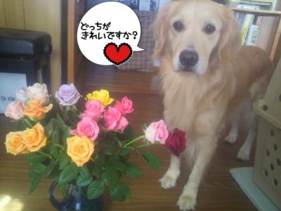 薔薇はきれいで、カリヨンはかわいいの