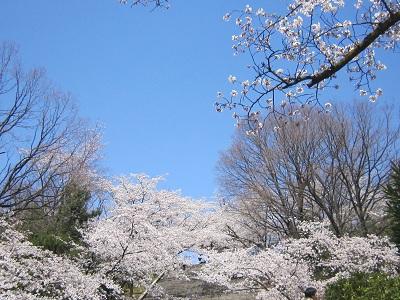 平和公園桜1(10%)