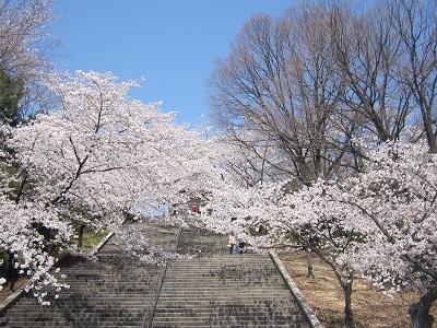 平和公園桜2(10%)