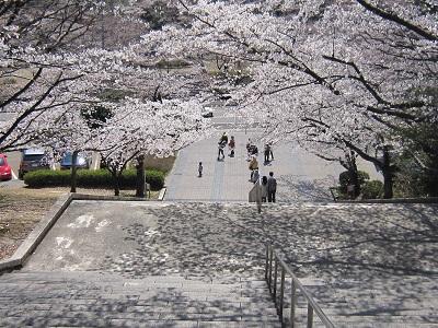 平和公園桜3(10%)