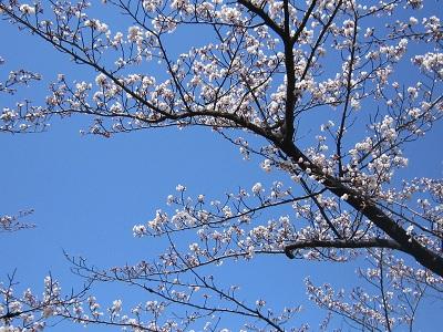 平和公園桜4(10%)