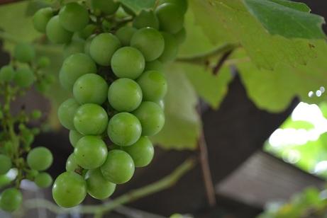 出島の葡萄