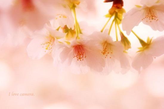 kako-Y3yLIIAY8dlRcMFr2014桜