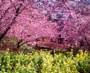 松田桜祭り