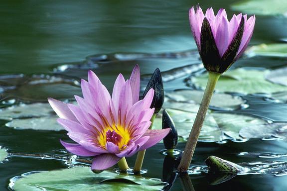 泥沼に咲く蓮の華