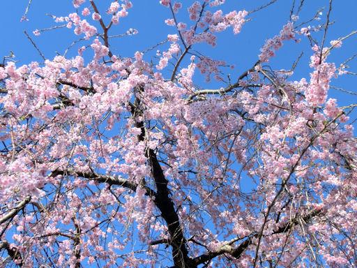 CIMG7063-sakura.jpg