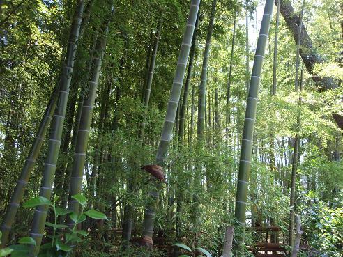 粕谷の竹林1