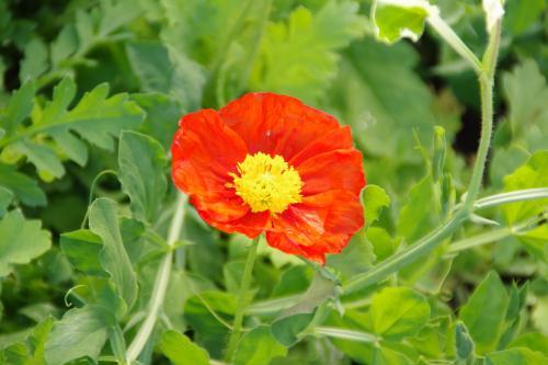 Kの庭:赤いポピー